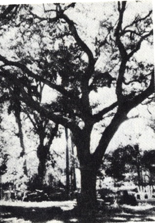 Howard's oak tree